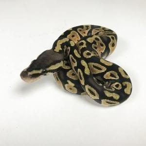 Female Pastel Royal Python CB18