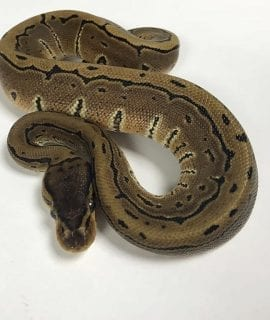 Male Pinstripe het Ghost Royal Python CB18