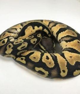 Male Pastel het Candy poss het Pied Royal Python CB18