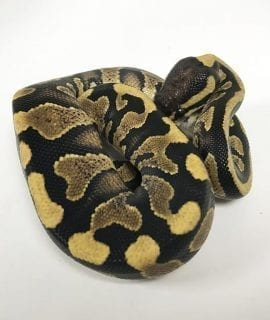 Male Yellowbelly/Asphalt Blaze Royal Python CB18