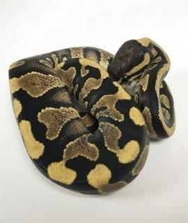 Male Yellowbelly/Asphalt Blaze Royal Python CB18
