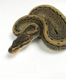 Female Pinstripe Sulpher Royal Python CB18