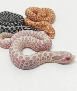 Snow Western Hognose CB18