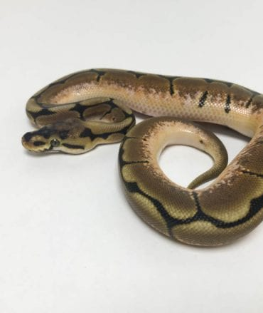 Male Spider Royal Python CB18