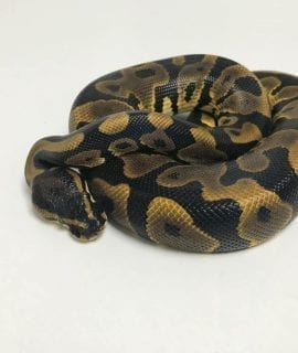 Female Leopard 66% het Ghost Royal Python CB18