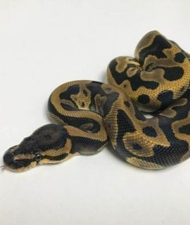 Male Leopard 66% het Ghost Royal Python CB18
