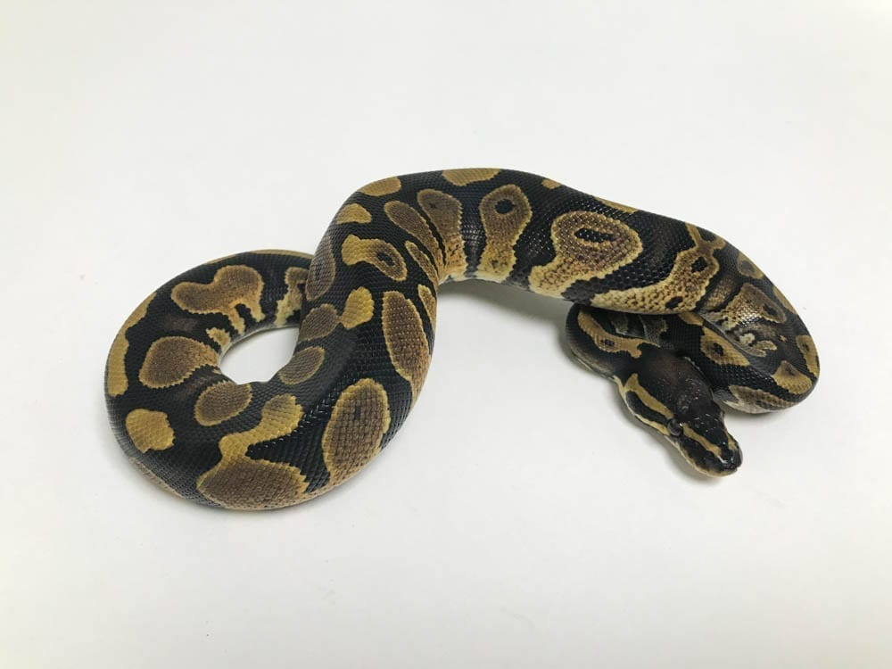 Male Classic DH Ghost/Pied Royal Python CB18