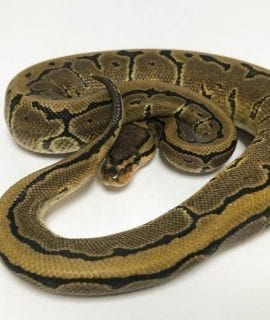 Male Pinstripe DH Ghost/Pied Royal Python CB18