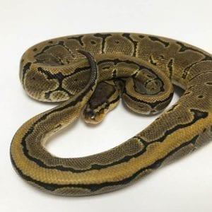 Male Pinstripe DH Ghost/Pied Royal Python CB18