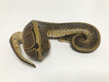 Female Pinstripe DH Ghost/Pied Royal Python CB18