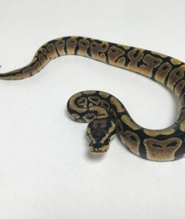 Male Spotnose Royal Python CB18