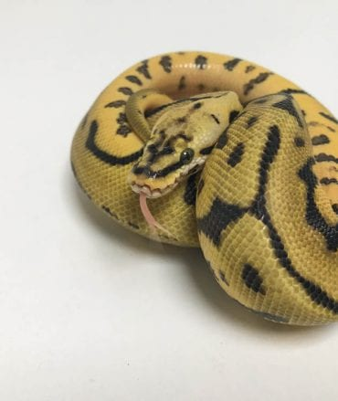 Male Bumblebee Leopard 66% het Ghost Royal Python CB18
