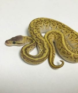 Female Mojave Pinstripe 66% het Ghost Royal Python CB18