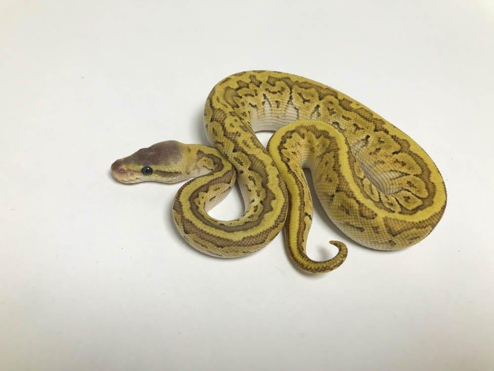 Female Mojave Pinstripe 66% het Ghost Royal Python CB18