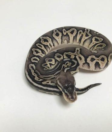 Male Pewter het Ghost Royal Python CB18