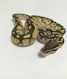 Male Pastel Lesser het Desert Ghost Royal Python CB18