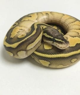 Male Butter Pastel Leopard 66% het Ghost Royal Python CB18