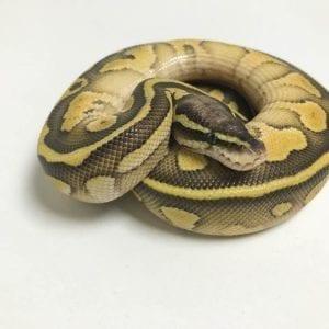 Male Butter Pastel Leopard 66% het Ghost Royal Python CB18