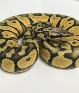 Male Super Pastel EXO Ghost Royal Python CB18
