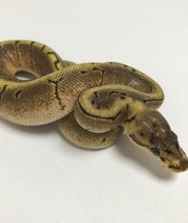 Female Spinner Asphalt or Yellowbelly Royal Python CB18