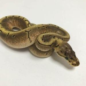 Female Spinner Asphalt or Yellowbelly Royal Python CB18