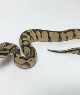 Male Enchi Desert Ghost Royal Python CB18