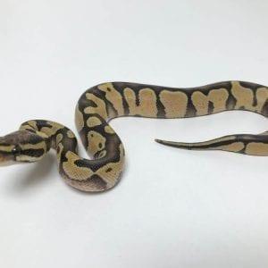 Male Enchi Desert Ghost Royal Python CB18