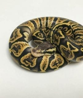 Male GHI Pastel 66% het Ghost Royal Python CB18