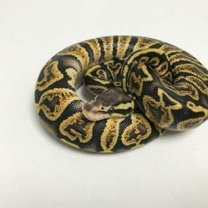 Male GHI Pastel 66% het Ghost Royal Python CB18