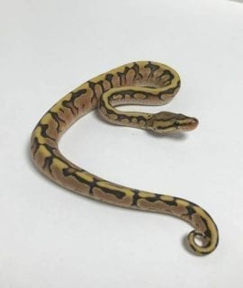Male Hidden Gene Woma Cinnamon 100% het Ghost Royal Python CB18