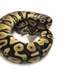Male Pastel DH Ghost/ Pied Royal Python CB18