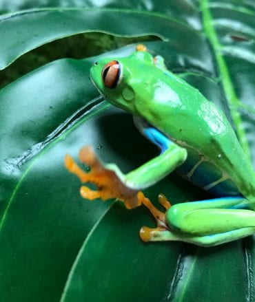 Unsexed Red Eyed Tree Frog