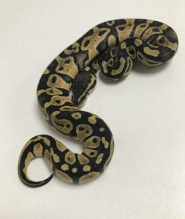 Female Pastel yellow Belly or Asphalt Royal Python CB18