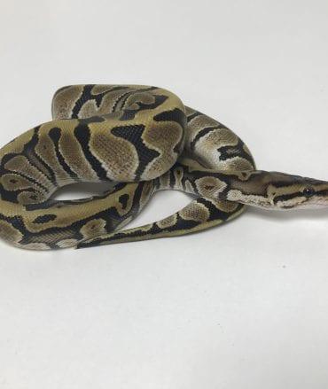 Female Hidden Gene Woma Het Ghost Royal Python CB18