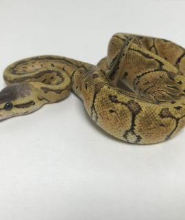 Female Lemonblast Yellow Belly or Ashalt Royal Python CB18