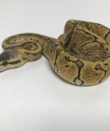 Female Lemonblast Yellow Belly or Ashalt Royal Python CB18