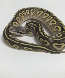 Female Super pastel Mojave ghost Royal Python CB18