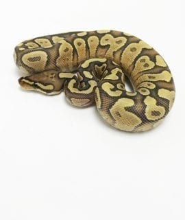Male Yellowbelly Ghost Royal Python CB18