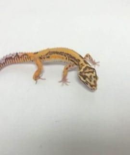 Male Mandarin x Sunfire Bell het Eclipse Leopard Gecko CB18