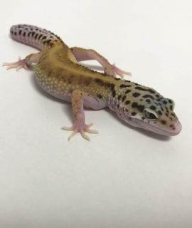 Male Eclipse het Bell Leopard Gecko CB18