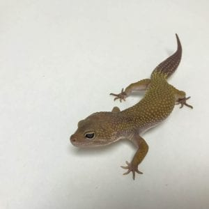 Male Mandarin x Sunfire Bold Stripe Bell het Eclipse Leopard Gecko CB18