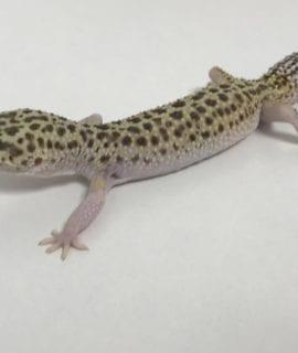 Female Classic het Eclipse Leopard Gecko CB18