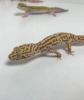 Female Bell Albino Leopard Gecko CB18