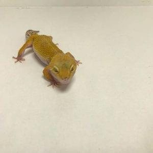 Female Super Hypo Leopard Gecko CB18