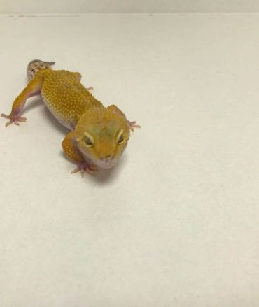 Female Super Hypo Leopard Gecko CB18