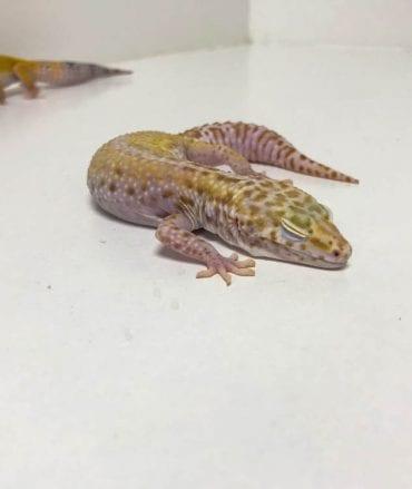 Female Snow Albino Leopard Gecko CB18