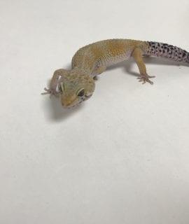 Female Hypo Leopard Gecko CB18