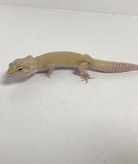 Female Hypo Albino Leopard Gecko CB18