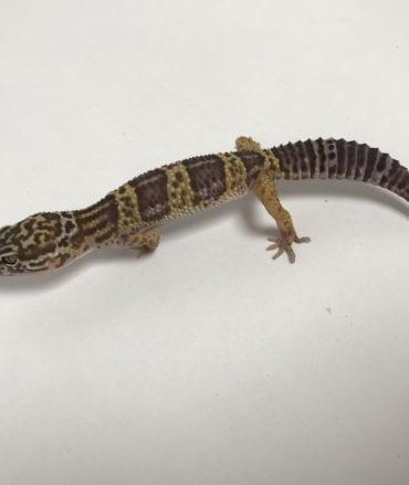 Male Bell Albino Leopard Gecko CB18