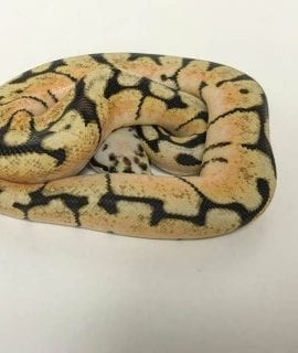 Male Bumblebee poss Orange Dream Royal Python CB18